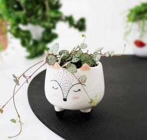 Lebende Topfpflanze Ceropegia Woodii, süße Miniatur Hängende Herzen Zimmerpflanze Geschenkidee