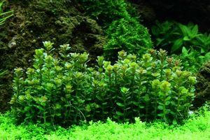 Aquarium Pflanze Rotala 'Bonsai' Tropica Nr.033E TC in Vitro