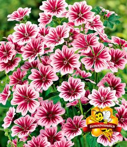 "Stauden-Malve ""Zebrina"" winterhart, 3 Pflanzen Malvenpflanze"