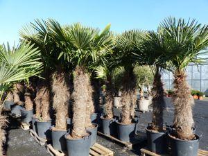 XXXXL 220 - 270 cm Trachycarpus fortunei 160 cm Stamm Hanfpalme, winterharte Palme bis -18°C
