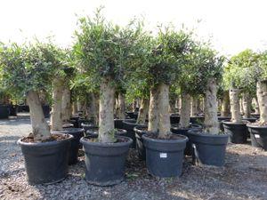 2x Olivenbaum Stammumfang 30-50 cm + 1x Intex swimming pool 262x175x56 cm
