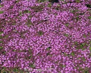 Thymus 50 Stück praecox Purpurteppich Thymian winterharter Bodend. T9x9