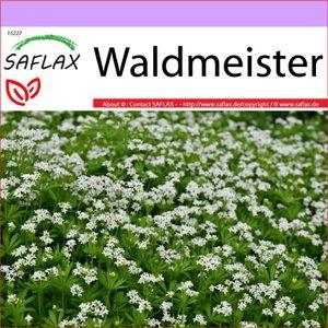 SAFLAX - Heilpflanzen - Waldmeister - 20 Samen - Galium odoratum