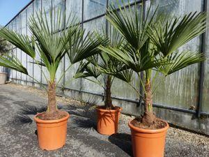 L Palme 100-120 cm Trachycarpus fortunei, Hanfpalme, winterhart + robust bis -18°C