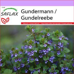 SAFLAX - Heilpflanzen - Gundermann / Gundelrebe - 75 Samen - Glechoma hederacea