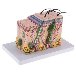Anschnitt von Vergrößerung 35x Menschliche Haut Textur Modell für Anatomie Lernmittel Laborbedarf