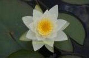 1 SEEROSE der Sorte Pöstlingsberg, weisse Blüte