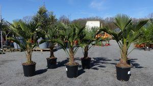 Palme winterhart 100 - 130 cm Trachycarpus Wagnerianus Wagner Hanfpalme,