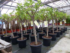 kompakter Feigenbaum 140 - 160 cm Obstbaum, winterhart, Ficus Carica, Feige
