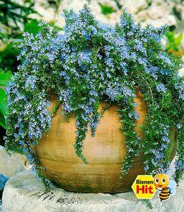 Hänge-Rosmarin 'Capri', 3 Pflanzen Rosmarinus winterhart Hängepflanze