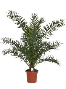 Kanarische Dattelpalme 80-100 cm - Phoenix canariensis - Phönixpalme