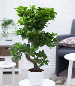 "Zimmerbonsai Ficus ""Ginseng"" ca. 50 cm hoch, 1  Pflanze Feigenbaum Zimmerpflanze luftreinigend"