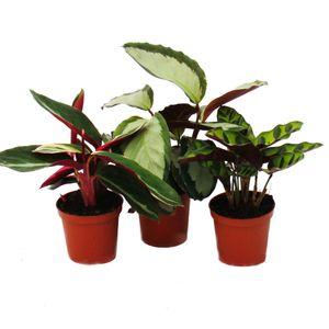 Schattenpflanzen 3er Set - mit ausgefallenem Blattmuster - Calathea - 7cm Topf - ca. 20cm hoch
