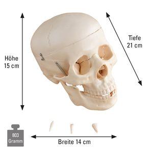 Anatomisches Schädel-Modell lebensgroß, Anzahl: 1 Stück