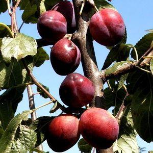 Königin Viktoria Pflaumenbaum Buschbaum kleinbleibend 100-120 cm 7,5 Liter Topf auf Wangenheims