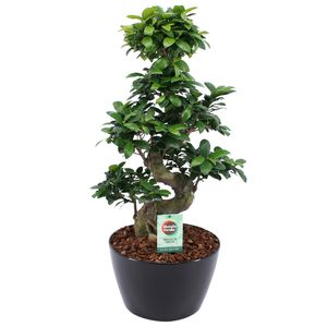 Bonsai von Botanicly – Bonsai in schwarzem Übertopf als Set – Höhe: 60 cm – Ficus Gin Seng