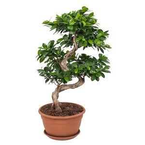 Bonsai von Botanicly – Bonsai – Höhe: 60 cm – Ficus Gin Seng