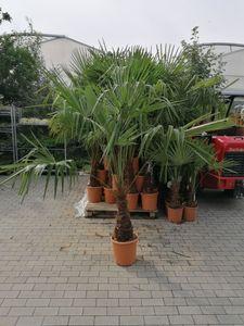 Chinesische Hanfpalme 130-160 cm  Trachycarpus fortunei