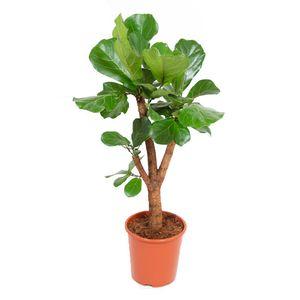 Zimmerpflanze von Botanicly – Geigenfeige – Höhe: 110 cm – Ficus Lyrata