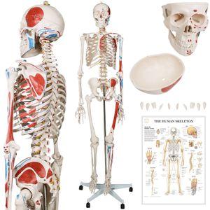 Jago® Menschliches Anatomie Skelett 181.5 cm - mit Muskelbemalungdetails, inkl. Schutzabdeckung, mit Ständer, Standfuss und Lehrgrafik Poster, Lebensgroß - Lernmodell, Lehrmittel, klassisches Skelett