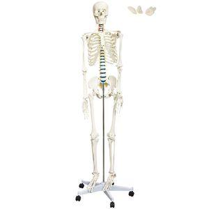 Skelett menschlich lebensgroß inkl. Ständer
