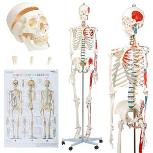 vidaXL Menschliches Anatomie-Skelett Lehrmodell mit Poster 181 cm