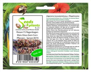 40x Riesen F1 Regenbogen Mais Glass Gem Corn Pflanzen - Samen #274