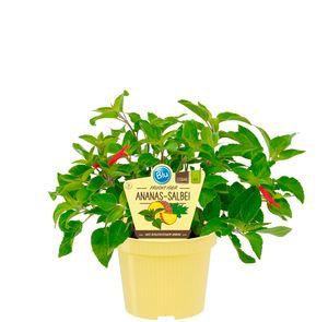 Blu Salbei Ananas-Salbei, im 12cm Pflanztopf, Salvia rutilans, Höhe ca. 15cm