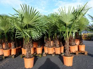 XXL Palme winterhart 150 - 180 cm Trachycarpus fortunei, Hanfpalme,