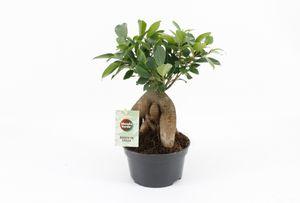 Bonsai von Botanicly – Chinesische Feige – Höhe: 25 cm – Ficus microcarpa
