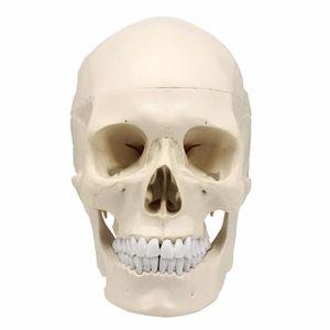 Teaching Simulation 1: 1 natürliche Schädelanatomie Simulationsmodell Schädel bulk Skelett Schädel Standard