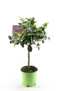 Limettenbaum - Lima Verde, Caipirinha Limette 80-100 cm