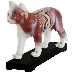 Akupunktur und Muskelmodell Katze