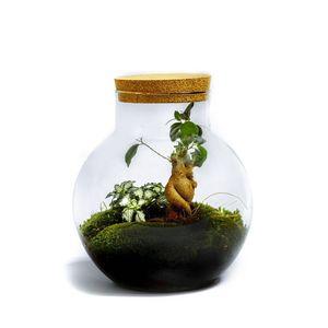 DIY Öko Flaschengarten von Botanicly: Bolder – Ficus ginseng (Höhe: ca. 30 cm, Breite: ca. 18 cm)