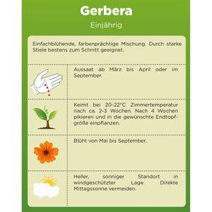Gerbera Single Mix | Blumensamen | Gerberasamen | Saatgut für einfach blühende Mischung