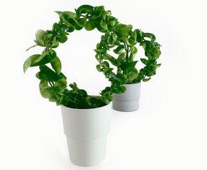 HOYA Carnosa Compacta-SELTENE Sorte-Wachsblume Kletterpflanze Zimmerpflanze Geschenkide