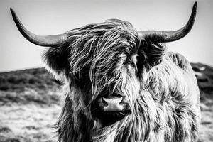 Leinwandbild Highlander - ca. 60 x 90cm