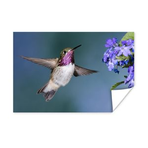 Poster - Ein Kalliope-Kolibri mit blauem Hintergrund - 90x60 cm