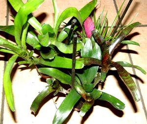 Bromelienmix 3 verschiedene Bromelien für Terrarien und Paludarien, Bromelie