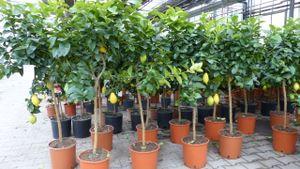 Zitronenbaum 170-180 cm Stamm Zitrone Citrus Limon Zitruspflanze