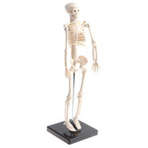 42cm Pädagogisches Kinder-Körper-Skelett-Modell Mit Basis-Wissenschafts-Anatomie-Spielzeug