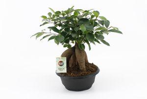 Bonsai von Botanicly – Chinesische Feige – Höhe: 35 cm – Ficus microcarpa