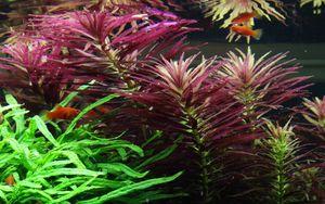 Aquarium Pflanze Limnophila hippuridoides Tropica Nr.047C