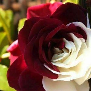 100 Stücke Seltene  Burgund & weiß Blumensamen Gartenpflanze für Deko