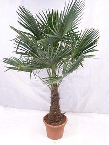 """[Palmenlager] - Winterharte Palme - Trachycarpus fortunei 180/200 cm - Stamm 40/50 cm""""Chinesische Hanfpalme"""" // -17°C"""