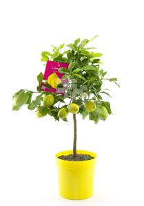 Echte Zitrone 80 cm Citrus Limon Lemon Zitronenbaum