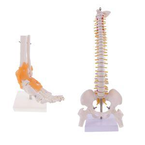 45cm Menschliche Wirbelsäule & 1: 1 Lebensgroße Mensch Skeleton Fuß Knöchel Modell, Perfekt als Lehrmittel für Anatomie und Physiologie Kurse
