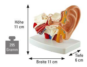 Mittelohr - Modell, Anzahl: 1 Stück