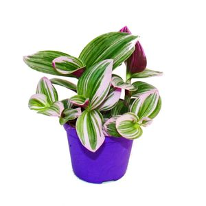"""Exotenherz - Dreimasterblume -  Tradescantia """"Nanouk"""" - pflegeleichte hängende Zimmerpflanze - 9cm Topf - pink"""