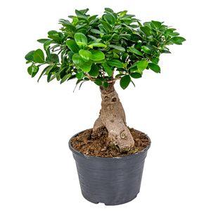 Bonsai Baum   Ficus \'Ginseng\' pro Stück - Zimmerpflanze im Aufzuchttopf cm20 cm - ↕40 cm